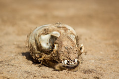 Seal Skull, Cape Cross, Skeleton Coast, Namibia 2019 (Beppie K) Tags: namibia africa skeletoncoast capecross seal skull death