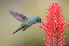 Amazilia franciae (Wildlife and nature - Colombia) Tags: andeanemerald amaziliafranciae amaziliaandina