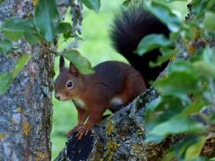Eichkätzchen / Squirrel (ursula.valtiner) Tags: tier animal eichkätzchen eichhörnchen squirrel herbst autumn flatz niederösterreich loweraustria austria autriche österreich