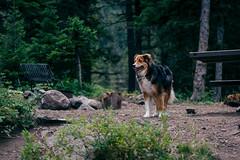 DSC_5907-Edit (wreckdiver1321) Tags: adventure aussie australian big camp camping campsite crazies crazy dog montana mountains outdoors pup scout shepherd timber travel wander wanderlust woods