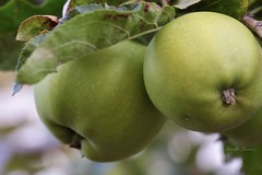 The green apples (Mireille L.) Tags: smileonsaturday frutaria apple green