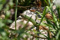 European Sand Lizard (tim ellis) Tags: holiday animal geotagged reptile lizard lacertaagilis aggtelekinemzetipark hungary jósvafő sandlizard geo:lat=4853919389 geo:lon=2066660811