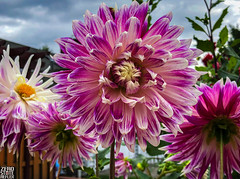 Seattle_Dahlia_Garden_Flower_9-2019 (Zero State Reflex) Tags: seattle pnw washington dahlias flowers photography zerostaterreflex iphonex nature vibrant colorful beautiful garden neighborhood wedgwood