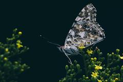 _DSC8989-Edit (imamuan) Tags: butterfly insect flower yellow ジャノメチョウ 蝶 蛾 オミナエシ 薬師池 萬葉草花苑 町田 東京 machida yakushiike tokyo