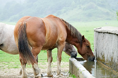Les chevaux du Bénou (Ezzo33) Tags: france gironde nouvelleaquitaine bordeaux ezzo33 nammour ezzat sony rx10m3 mammifère animal animaux mammifères cheval chevaux horses horse pyrénéesatlantiques