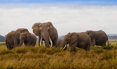 African Bush Elephant Family, Amboseli National Park (Ray in Manila) Tags: kenya amboseli africa baby nature animals fauna cow nationalpark bush african savannah tusks savanna eos650d family elephant elephants grass group safari exotic herd naturalworld equator big5 wild beautiful landscape view free attractive colourful calf