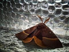 I colori di una falena (enzo 74) Tags: farfalla falena colori animali natura