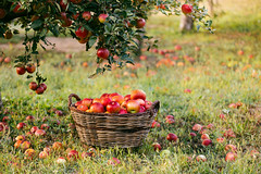 It's time to harvest (Inka56) Tags: orchard smileonsaturday frutaria apples apple appletree grass leaves basketwithfruits harvest organic fruit autumn serbia autumncolor fabuleuse