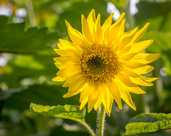 Bright Life (PopsDigital) Tags: flower flowers sunflower sunflowers green yellow bloom blooming petals stem leaves leaf summer perennial wisconsin wi landscape floral blossom blossoming sweet beauty beautiful color colour macro closeup happy sunny sonyslta77v