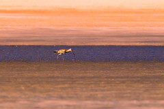 the lone seeker (Rajiv Lather) Tags: godwits blacktailedgodwit india indian birds birding birder nature sunset beach water sand outside wildlife light sea shore focus composition colors gravel tones