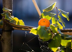 Morning Tangerine (Peter Branger) Tags: smileonsaturday frutaria tangerine fruit outdoor sun canoneosr canonef70200mmf28lisiiusm