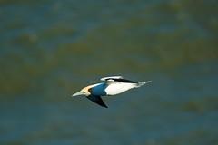 SEA FLYING (skysthelimit333) Tags: gannet flyinggannet sea northsea yorkshire yorkshirecoast coast