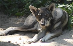 Chien Loup 2 (Michael G.H.) Tags: wolf dog animal nature