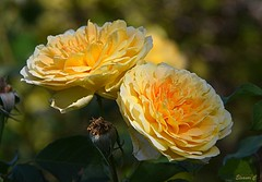 Weekend Roses (Eleanor (New account))) Tags: flowers roses yellowroses busheyrosegarden bushey england uk nikond7100 september2019