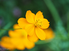 2019 Yellow cosmos #1 (Yorkey&Rin) Tags: 2019 autumn em5markii japan kawasaki macro neighborhood olympus olympusm60mmf28macro p9210101 rin september yellowcosmos キバナコスモス マクロ 近所の花壇 九月 秋