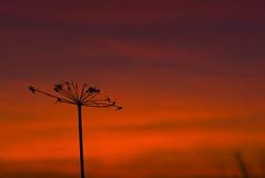 Sunset ~ 2782 (@Wrightbesideyou) Tags: 07904610415 wrightbesideyou blyton d750 england europe lincolnshire nikon nikond750 scarboroughroad sky sunset wrightbesideyouphotography simonwrightbesideyoucom wwwwrightbesideyoucom