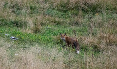 (thefrizz83) Tags: volpe fox cansiglio nikon nature natura country mammals mountain mammiferi