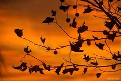 Afire.... (Joe Hengel) Tags: afire miltonde milton delaware de darkness lowerslowerdelaware lsd sussexcounty tree treebranch silhouette silhouettes leaves sky clouds sunset watchingthesunset evening eveninglight eveningskies summertime summer