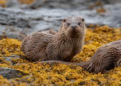 I think he's seen me. (irelaia) Tags: otter mull wildlife scotland wild seaweed rocks cub mum fish