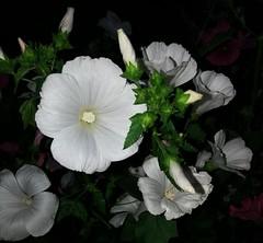 Saturday flowers. (Lavatera trimestris/Sommarmalva (Ingrid Friis Photo) Tags: lavateratrimestrissommarmalva vit white flowers