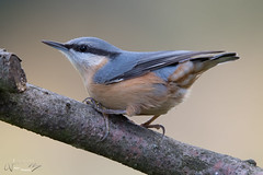 nuthatch (fire111) Tags: nuthatch boomklever bird birding wild wildlife nature photographing