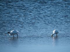 P1022641 (roseyposey2009) Tags: g9 lumix 100 300 clive swans cygnets ducks ducklings clivespoonbillsswansdogsducksducklings