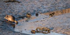 P1022675 (roseyposey2009) Tags: g9 lumix 100 300 clive swans cygnets ducks ducklings clivespoonbillsswansdogsducksducklings