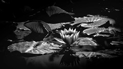 the waterlily (geraldkoenigsohn) Tags: fujixt1 shadows monochrome flower moody tranquil telephoto vintagelens blackandwhite lake blossom