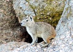 Sábado-animal (sonia furtado) Tags: sábadoanimal animal roedor mocó kerodonrupestris pãodeaçúcar al ne brasil brazil soniafurtado frenteafrente