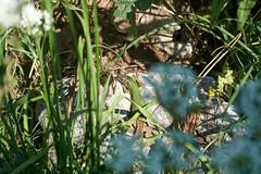 European Sand Lizard (tim ellis) Tags: holiday animal geotagged reptile lizard lacertaagilis aggtelekinemzetipark hungary jósvafő sandlizard geo:lat=4853897833 geo:lon=2066644400