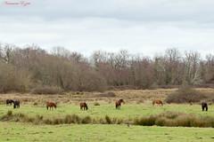 Les chevaux du marais de Bruges (Ezzo33) Tags: france gironde nouvelleaquitaine bordeaux ezzo33 nammour ezzat sony rx10m3 mammifère animal animaux mammifères cheval chevaux horses horse pyrénéesatlantiques
