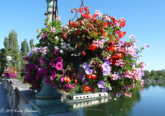 September 15th, 2109 Hanging baskets on Reading Bridge (karenblakeman) Tags: caversham uk hangingbaskets flowers bridge readingbridge thames september 2019 2019pad reading berkshire