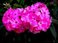 Flowers (galterrashulc) Tags: latvia riga jugla rīga latvija lettland olympus sp550uz irina galitskaya galterrashulc nature flora flowers dark magenta green summer