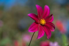 264/365 bloem (Eljee-) Tags: rotterdam trompenburg arboretum herfstfair natuur 365the2019edition 3652019 day264365 21sep19 sony a7ii ljl leoluijten macro