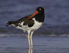2I1A9931 (lfalterbauer) Tags: americanoystercatcher canon ornithology avian stoneharbor newjersey nature wildlife ocean beach outdoor