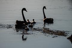 P1022654 (roseyposey2009) Tags: g9 lumix 100 300 clive swans cygnets ducks ducklings clivespoonbillsswansdogsducksducklings