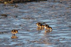P1022669 (roseyposey2009) Tags: g9 lumix 100 300 clive swans cygnets ducks ducklings clivespoonbillsswansdogsducksducklings