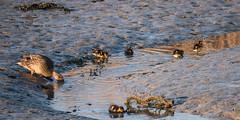 P1022676 (roseyposey2009) Tags: g9 lumix 100 300 clive swans cygnets ducks ducklings clivespoonbillsswansdogsducksducklings