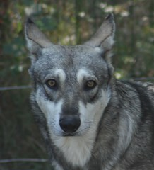 Chien Loup 1 (Michael G.H.) Tags: wolf dog animal nature