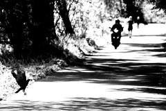 the road (Gerrit-Jan Visser) Tags: geimporteerd streetphotography bnw blackandwhite crow motorcycle amsterdam shadows light sun life death birth circle lifecycle soul road street