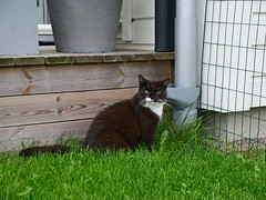 Out in the green (vanstaffs) Tags: tussi tuzz tuxedocat t tux tusse tutu tuzz® myprettytuxedogirl