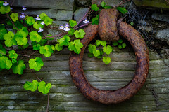 Walled garden (FotoFloridian) Tags: brown chain closeup dirty ironmetal metal newyork nopeople old outdoors owego plant ring rust rusty slate sony steel wall weathered a6400 alpha green nature