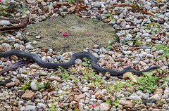 Along The Garden Path (ACEZandEIGHTZ) Tags: snake racer evergladesracer coluberconstrictor nikond3200 garden path walkway reptile stones slithering scales