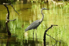 Great Blue Heron Wading in White Clay Creek (annette.allor) Tags: