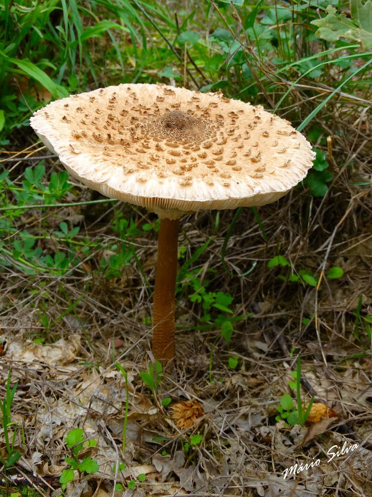 """Águas Frias (Chaves) - ... um cogumelo Frade """"macrolepiota procera"""",  pois já vai começar o aparecimento destes fungos ..."""