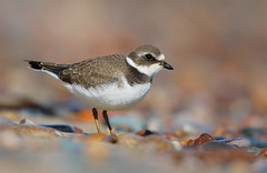 Semipalmated Plover MI September 2019_89A8725 (www.sabrewingtours.com) Tags: semipalmated plover semi palmated shorebird bird beach brian zwiebel bz saberwing nature tours snt photo photography canon color stones migrant upper peninsula michigan mi up