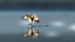 Least Sandpiper (Frank Schauf Photography) Tags: animal bird calidrisminutilla florida leastsandpiper nordamerika northamerica tier usa vogel wiesenstrandläufer