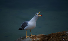 """SEAGULL"" #photooftheday #photography #nature #aves #fauna #sea #seagull #colors #nature #digitalphotography #devilagarcía #galiciamaxica #vilagarciadearousa #pontevedra #galicia #riadearousa #galifornia #huaweiphotographers #vga_viva  #disfrutargalicia # (saffsunset) Tags: photooftheday riadearousa pentaxkx nature fauna galiciamaxica vgaviva pontevedra disfrutargalicia aves sea colors riasbaixas vilagarciadearousa galicia seagull huaweiphotographers galifornia digitalphotography devilagarcía photography"