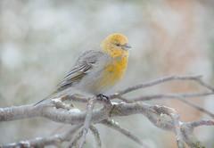 camachuelo - bullfinch (barragan1941) Tags: birds fog feathers yellow wings winter bullfinch female nice