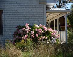 Bas-Saint-Laurent (Fransois) Tags: bassaintlaurent strochdesaulnais maison house fleurs flowers rural québec hydrangeas hydrangées bardeaux shingles clapboard